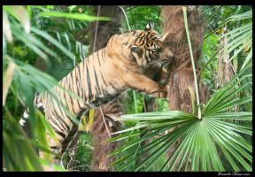 Tiger in the Tree by DanielleMiner