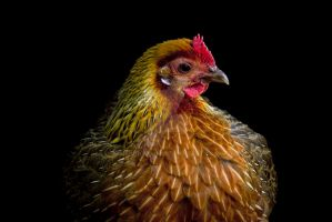 Red Jungle Fowl by ribbonworm