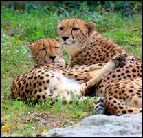 Cheetah Sisters 2 by SilkenWinds