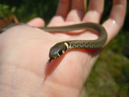 Grass snake by MagdiDS