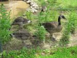 Goslings Behind Bars 2a by Windthin