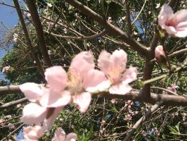Three Peach Blossoms by erisama