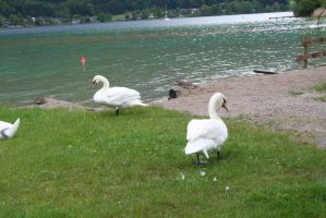 view to swans by ingeline-art