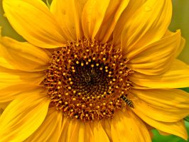 Sunflower and Insect by Xs9nake