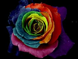 Rainbow rose by oreona