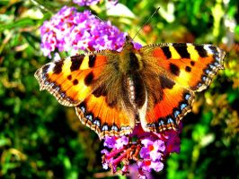Butterfly Close Up by Bouwland