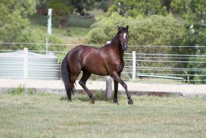 Dn black pony little trot side view by Chunga-Stock