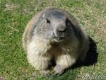 Smiling marmot by Momotte2
