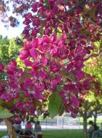 Tree Flowers Pink by KMKramer44