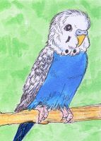 Blue Budgie ATC by calzephyr