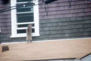 Peeping Tom Cat On the Roof by Miss-Tbones