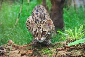 Leopard Cat 20150713-3 by FurLined