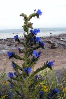 Blue Weed at the Beach by JocelyneR
