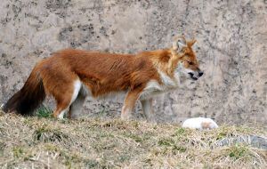 Snarling Dhole by 8TwilightAngel8