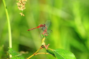 Red dragonfly at Turtle River by JordanCYork