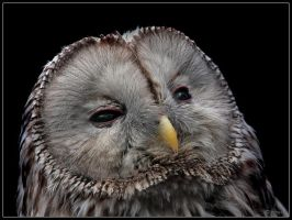 Ural Owl by cycoze