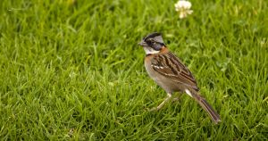 Rufous-collared Sparrow by Peregrijn