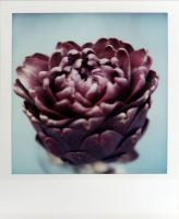 The Purple Artichoke by futurowoman