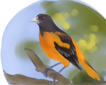 baltimore oriole by Plushanco