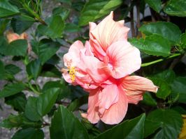 Hibiscus Flower 5 by seiyastock