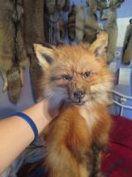 Alaskan Red Fox WIP- Artemis by NightsGem