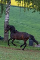 Andalusian Gelding Pasture by LuDa-Stock