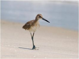 willet walk by photom17