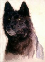 Black wolf in water colour by stormy-wild