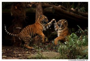 Baby Tigers: High Five by TVD-Photography