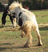 traditional gypsy cob colt stock by s-uperflu0us