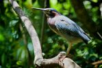 Green heron perched on a tree limb by TomFawls