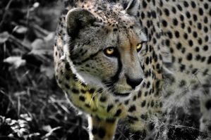 cheetah2 by cwiny