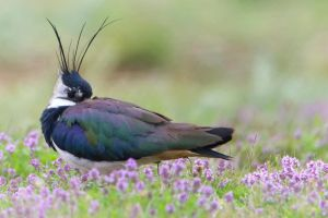 lapwing and flowers by Ulliart