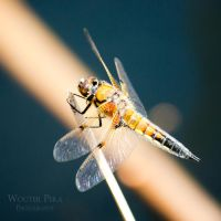 Dragon Fly by WouterPera
