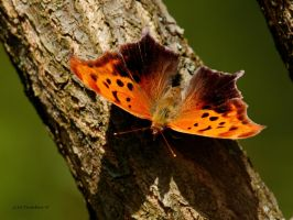 Question Mark butterfly 2012 by natureguy