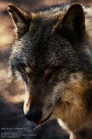 Grey Wolf: Portrait VI by WhiteSpiritWolf