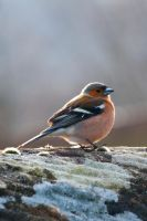 Chaffinch by taffmeister