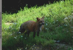 common red red fox by KIARAsART