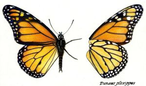 Danaus plexippus - Monarch - Insect Plate by ianumeric