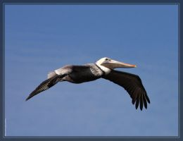 Brown Pelican 40D0033567 by Cristian-M