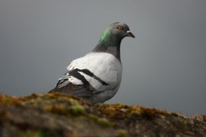 Pigeon on Carrick Harbour Wall by sucksqueezebangblow