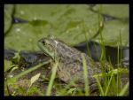 Froggy by FT69