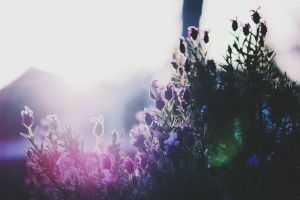 Flare Of Lavenders by FQPhotography
