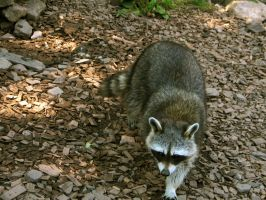 racoon 05 by Pagan-Stock