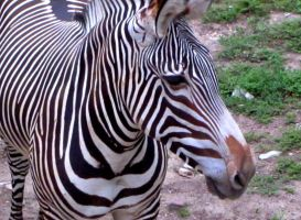 Zebra by Ithaedral