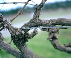 Grape Vine by SelenaMarie