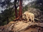 Mountain Goat by Love2B