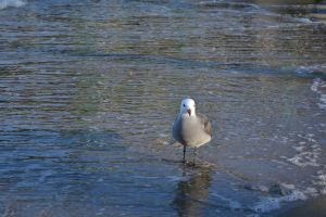 Heerman's Gull (Laurus Heermani) by Kiloueka