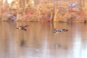 Geese Flying by Myxophobic