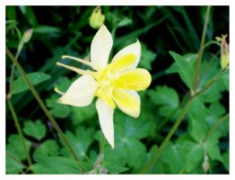 Yellow Columbine by bataleigh